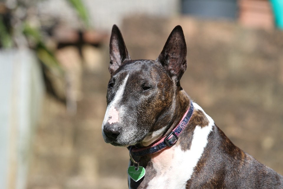Adopter un bull-terrier : raisons, notes et astuces
